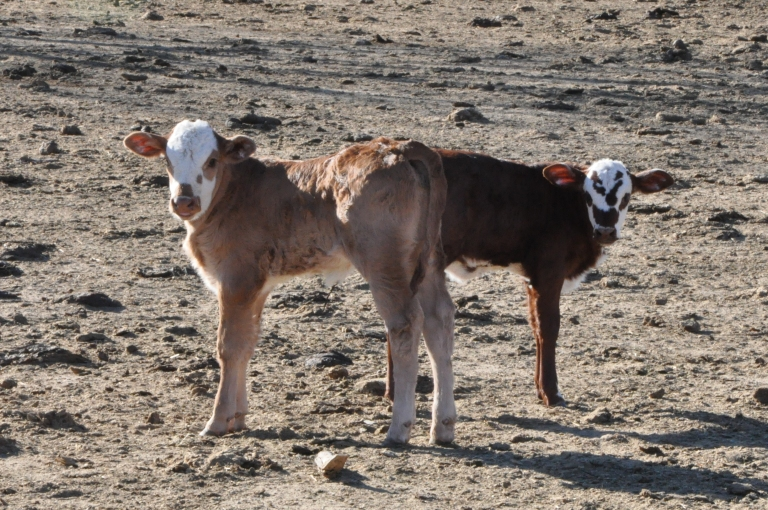Calves - one a few days old, the other a week old.