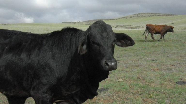 is this a brahma bull?