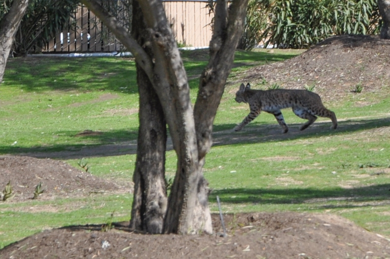 bobcat retreating