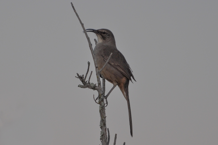 This California Thrasher was singing a beautiful song one COLD evening when I was photographing the full moon recently.