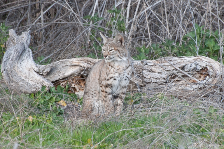 The female bobcat who just woke up from her nap.