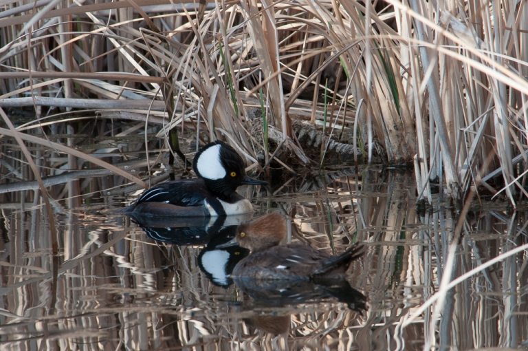 These Hooded Mergansers are very shy.