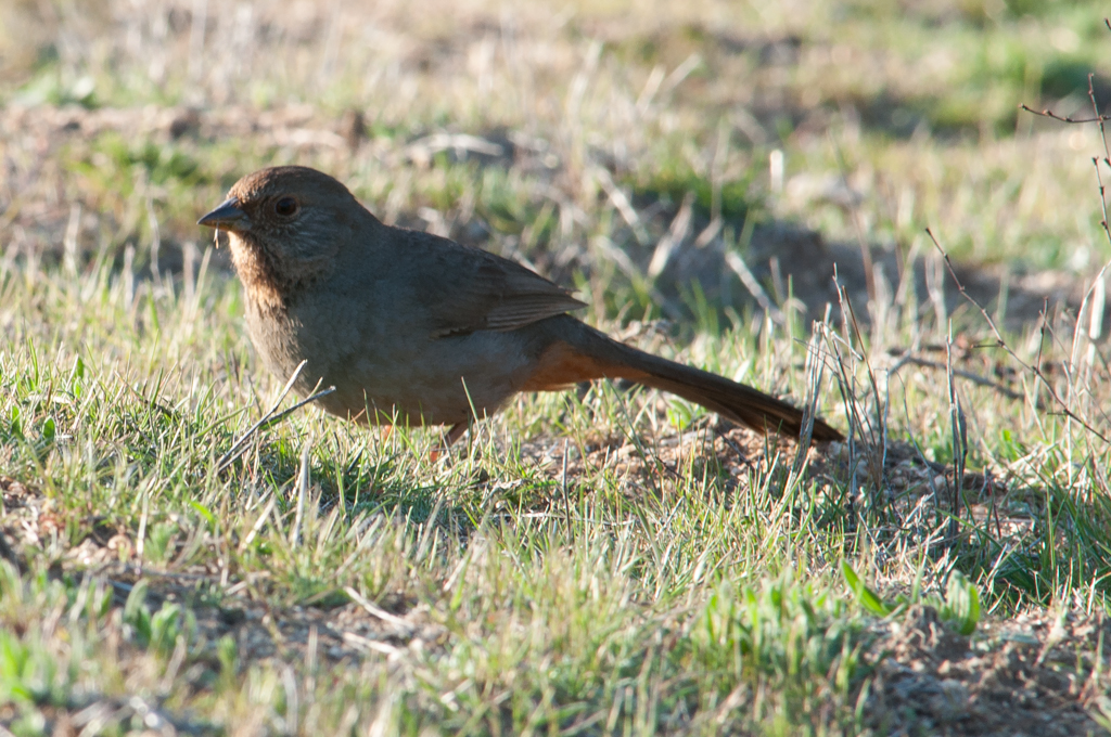 The California Towhee (notice a California theme here?), isn't as noticeable as the Towhees back East.
