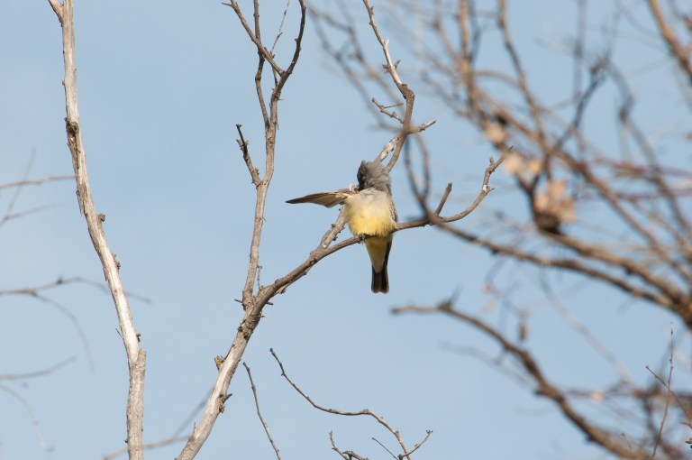 kingbird grooming