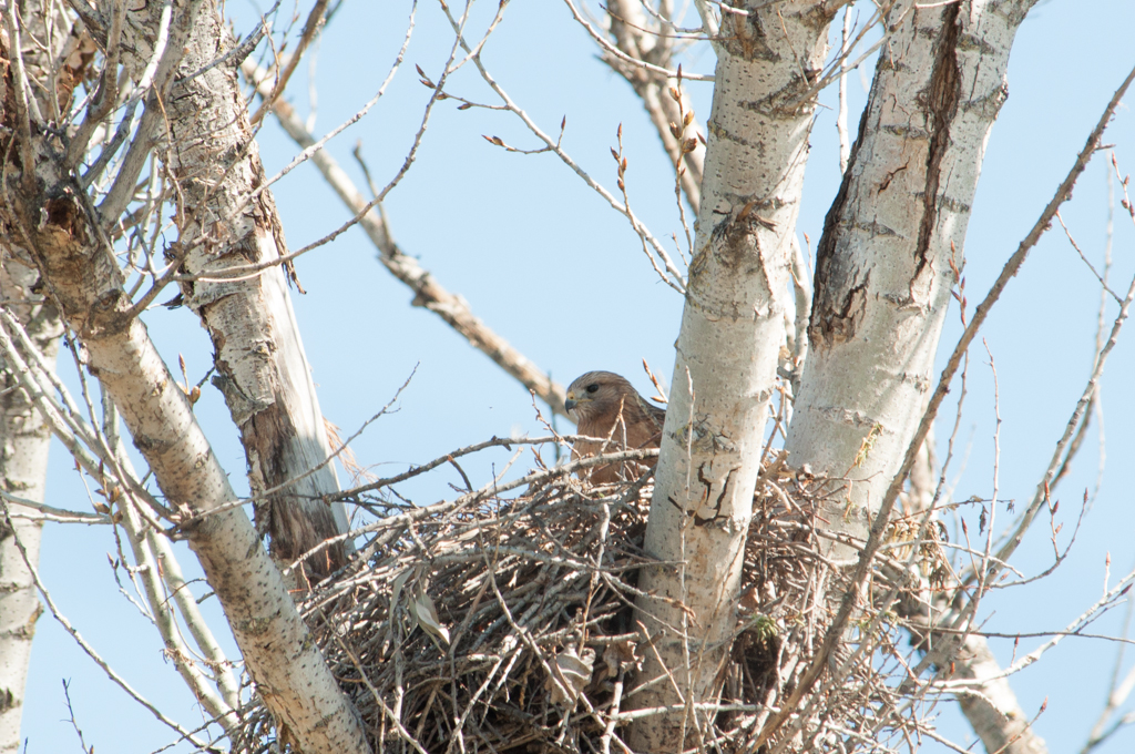 A pair of Red Shouldered Hawks apparently now are hatching their eggs. They live near the driveway of the park.