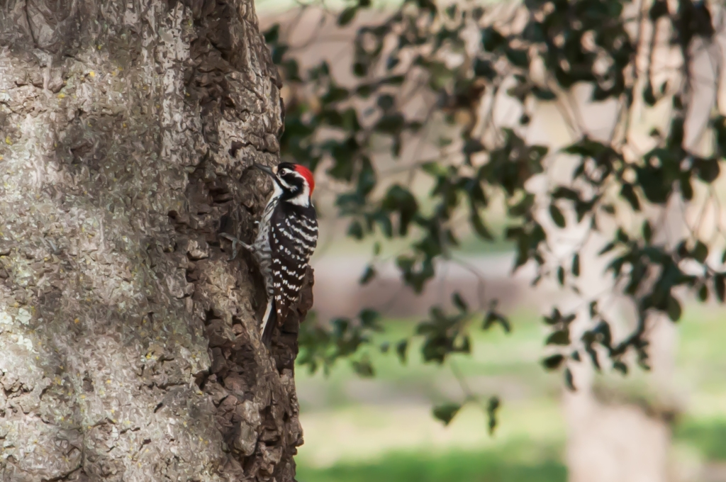 Nuttall's male woodpecker