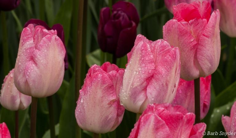 pinkrain
