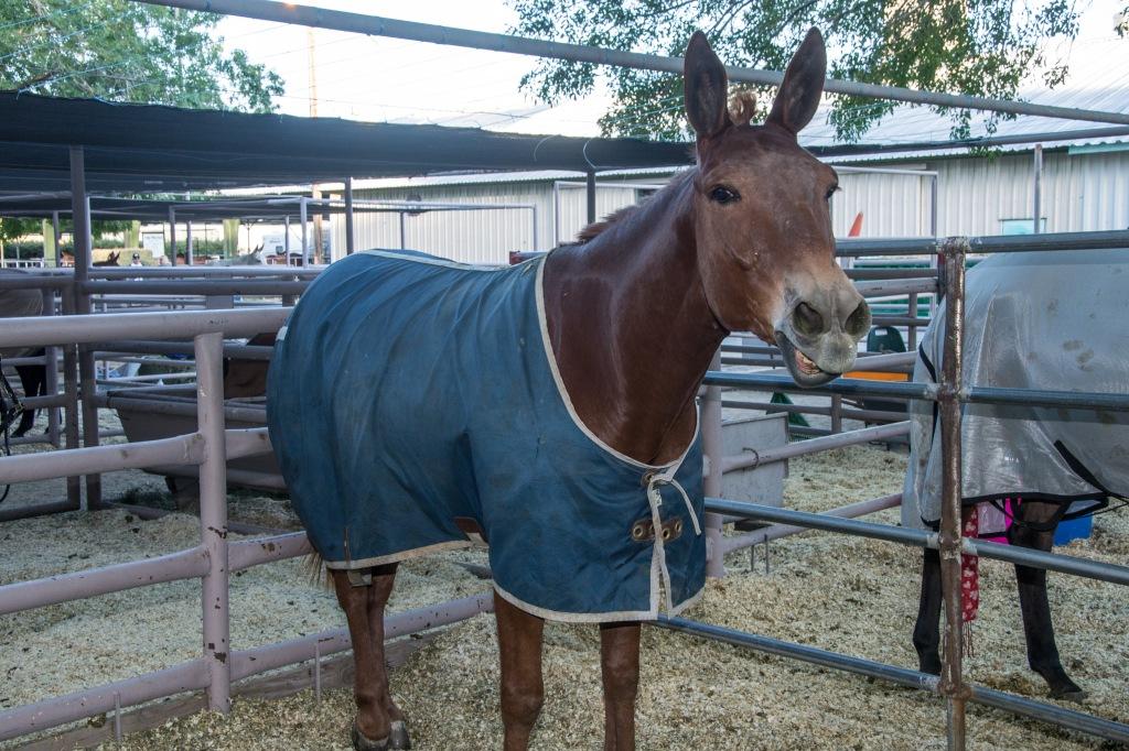 $15,000 mule!