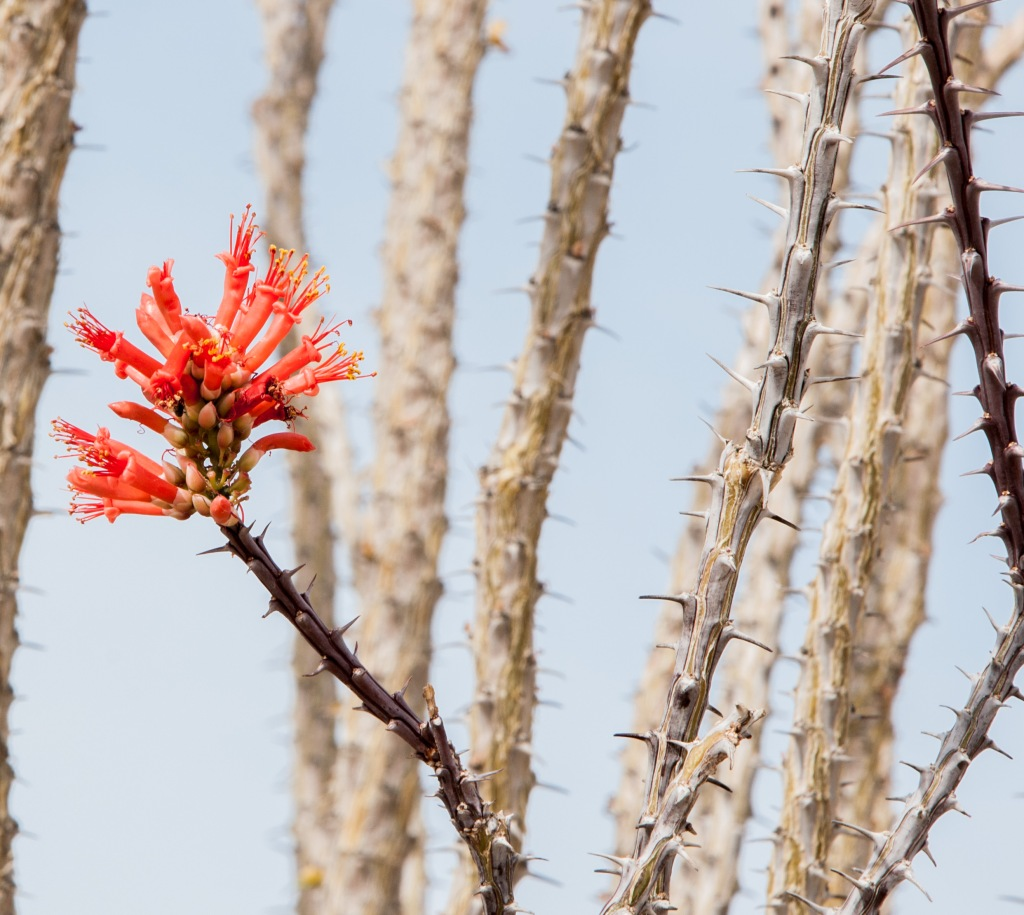 Ocotillo Cactus - they grow to 8-10' tall.