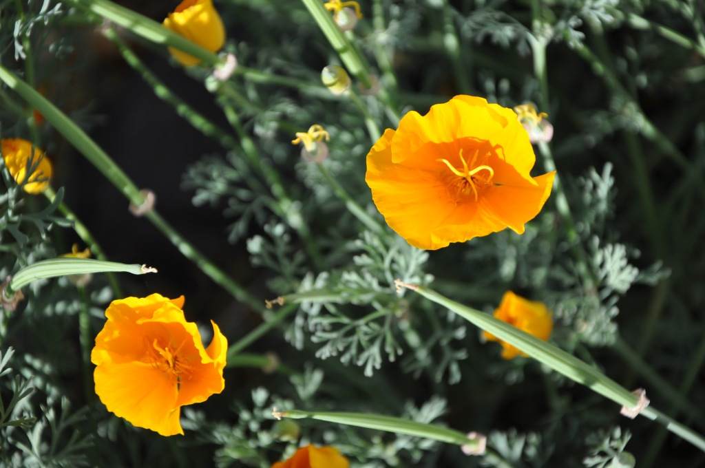 Santa Rosa Plateau, California State Flower: California Poppy