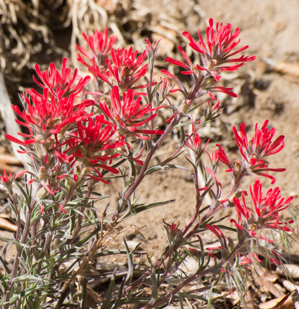 Mammoth Mountain, Giant Red Paintbrush