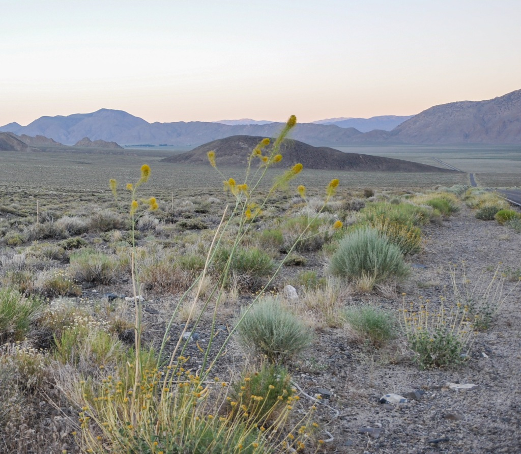 Deep Springs Valley, Prince's Plume