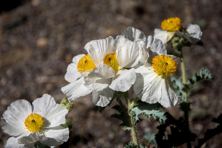 Westguard Pass, Prickly Poppy