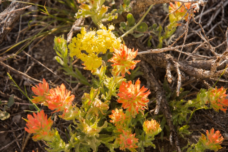 Mammoth Mountain, Desert Paintbrush and Sulfur Flower?
