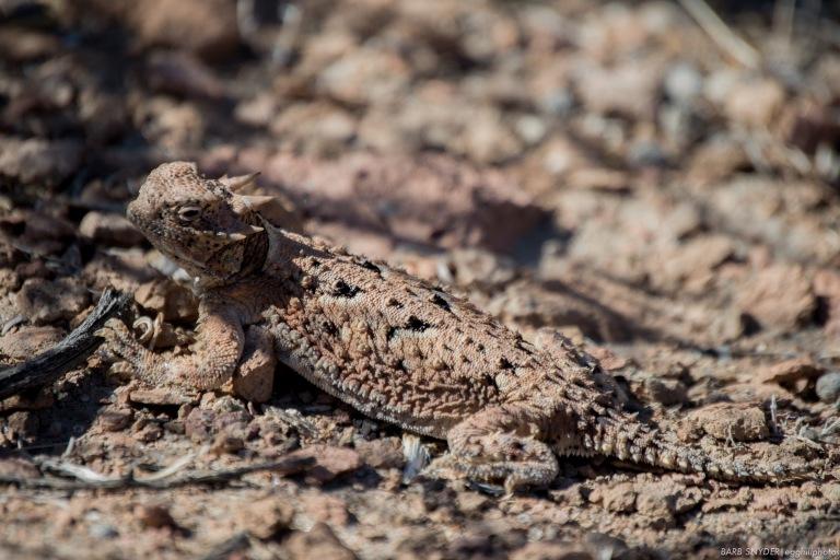 horned lizard (2 of 6)