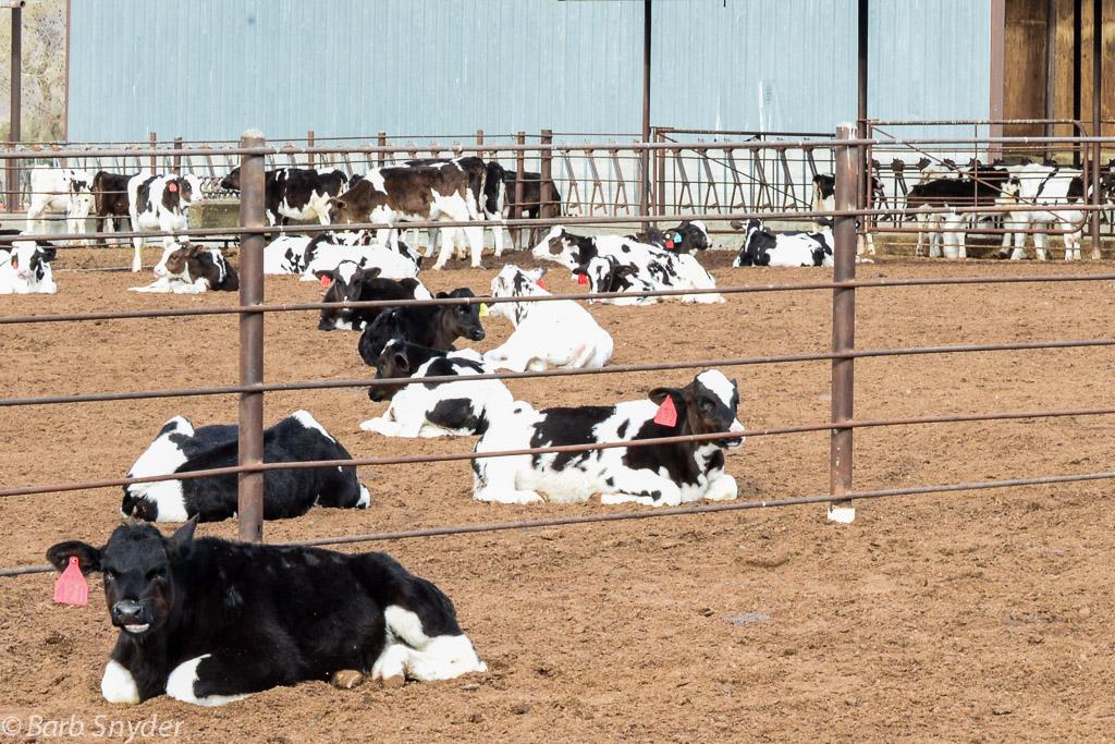 calves (1 of 1)-2