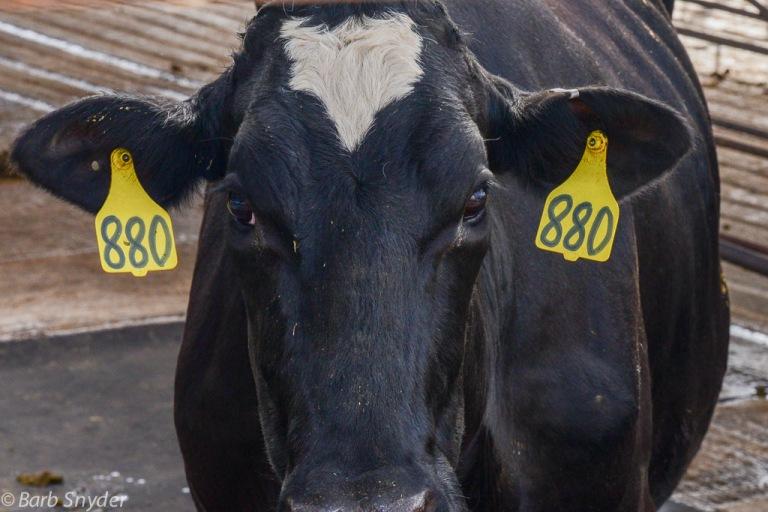 cow880