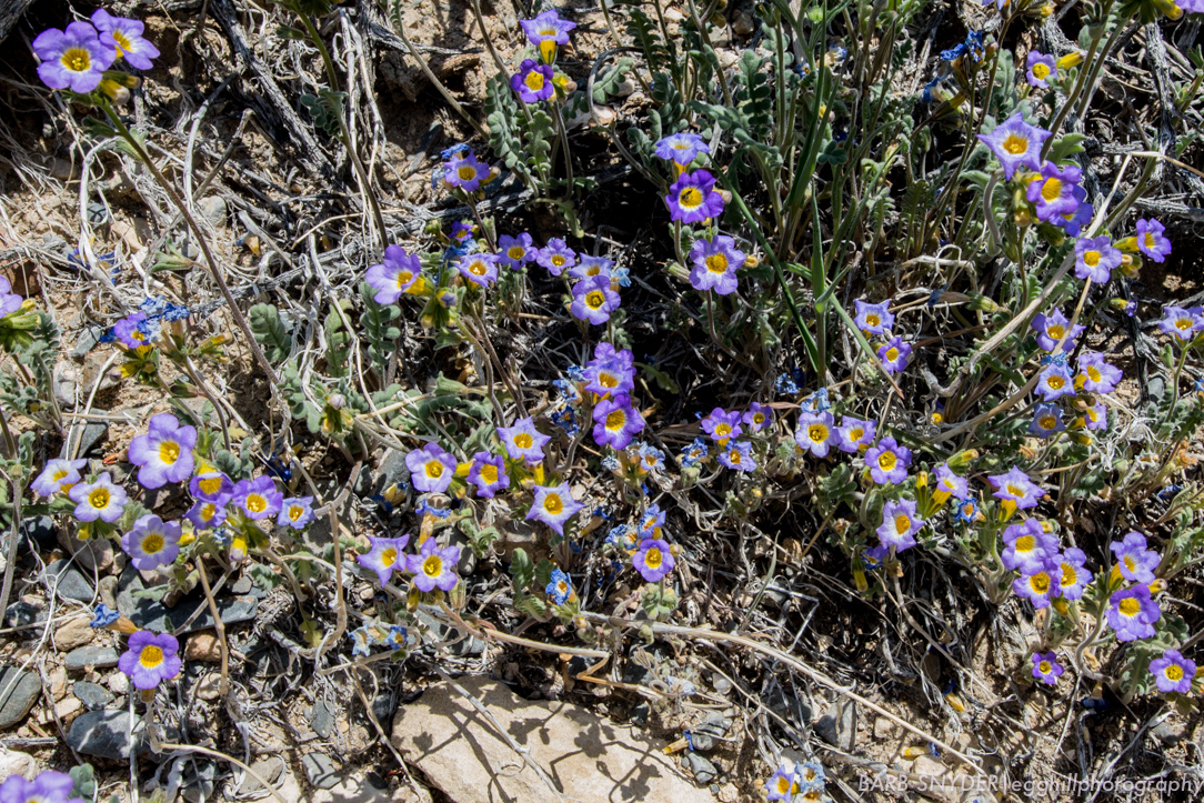 Little purple flowers with yellow throats.
