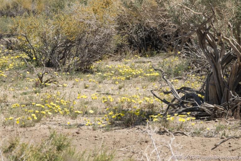 dandelion field (1 of 1)