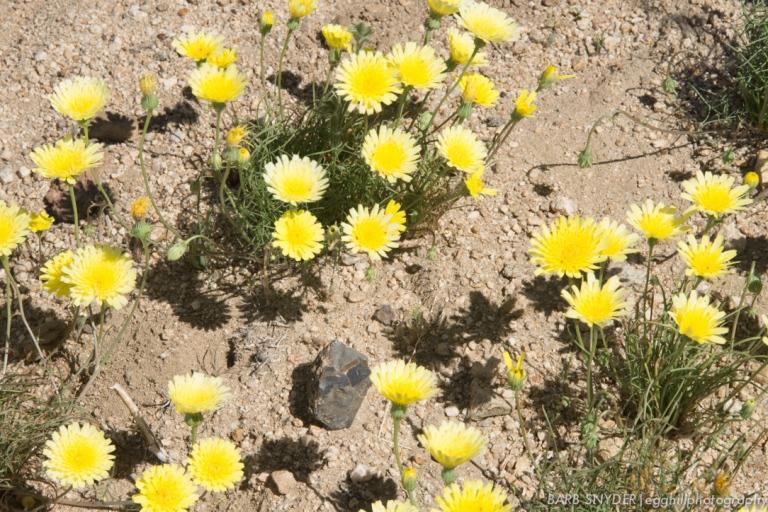 dandelions (1 of 1)