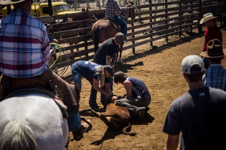 The calf gets a shot.