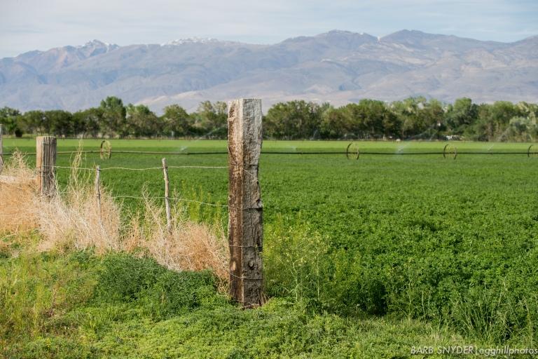 Alfalfa being irrigated.
