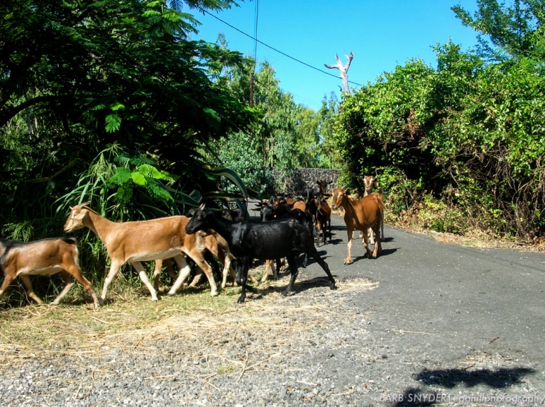 These goats were being driven through a village to their barn after pasturing in the hills.