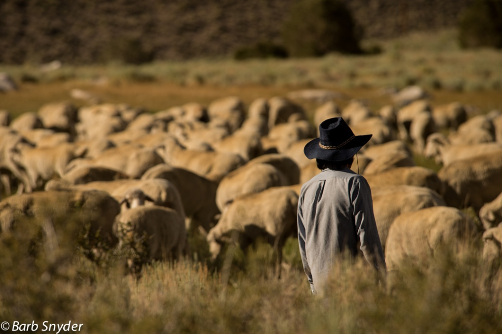 Sheep (4 of 4)