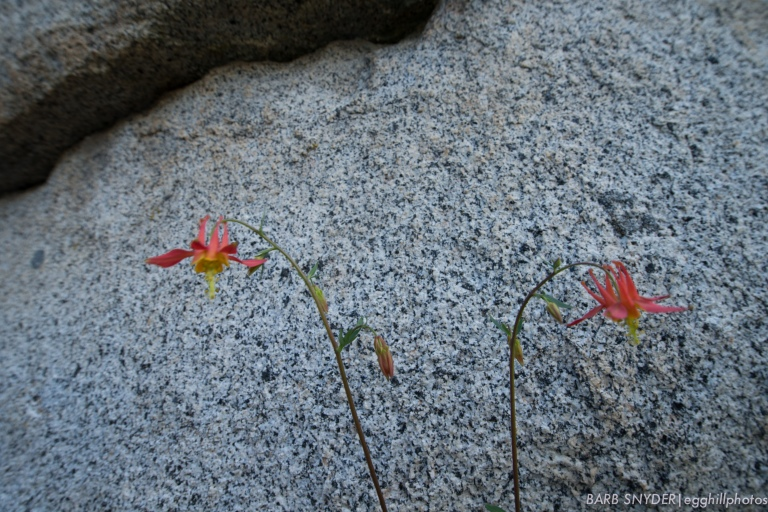 These were the only columbines I saw on the trail.