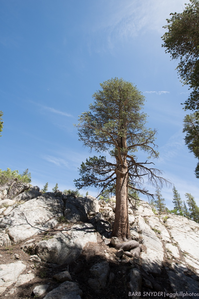 A lodgepole pine - growing out of granite.