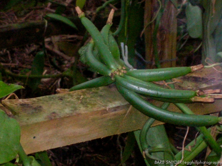 The vanilla beans are grown under shade cloth to protect them from the heat of the sun.