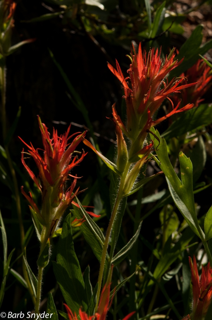 I love Indian Paintbrush. Probably one of the most prolific flowers and I cannot stop taking photos of it.