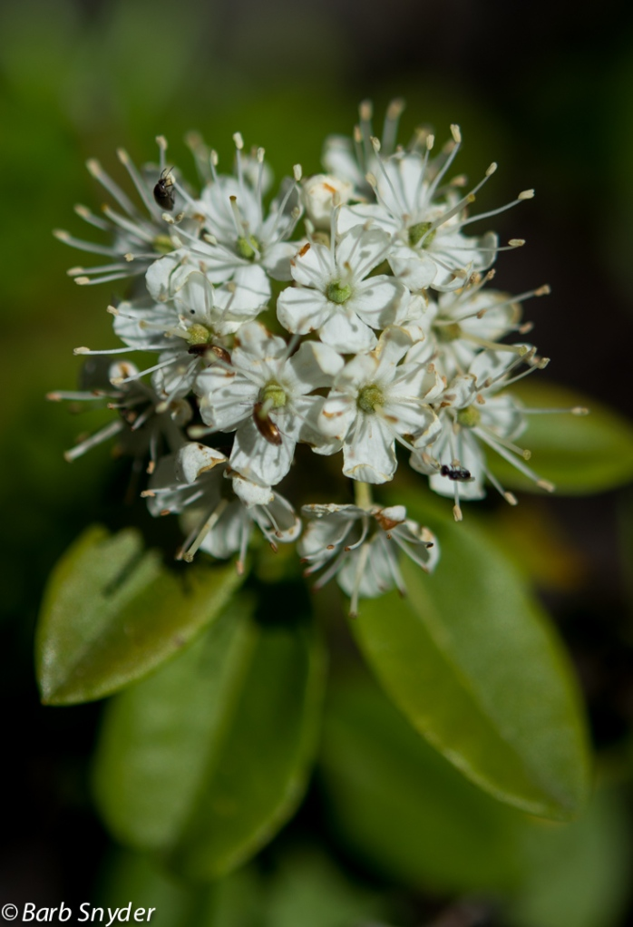 A shrub called Labrador Tea.