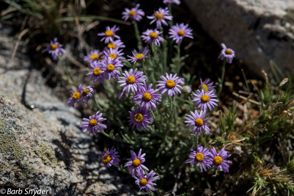 Mountain Asters.