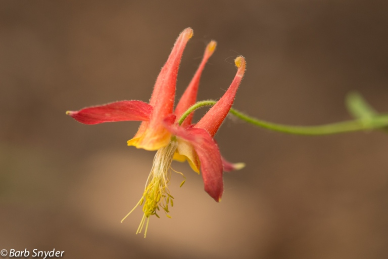 The elusive Columbine.
