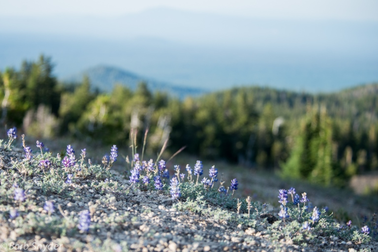 The wildflowers were few and very short. These lupines were only a few inches high.