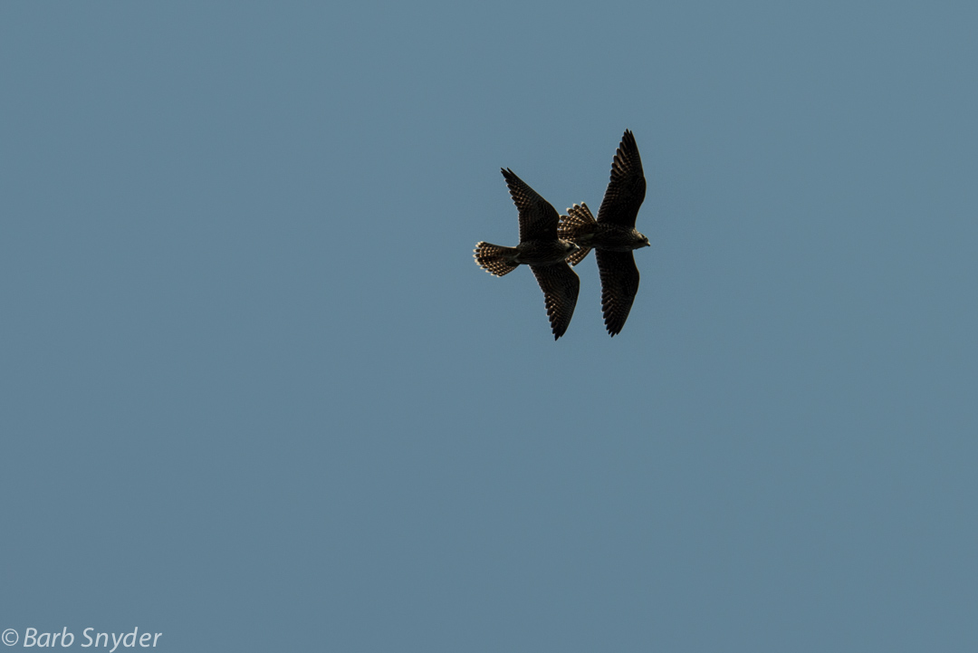 Peregrine Falcons were putting on a show over the cove that was their fiefdom.