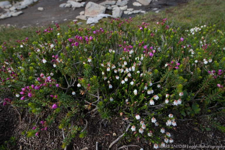 As you can tell from the snow still lying around, the growing season is short here, but the heather is beautiful.