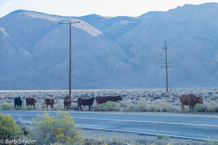 Cows and calves who wandered over the mountain from Fish Lake Valley in Nevada where they spent the summer.