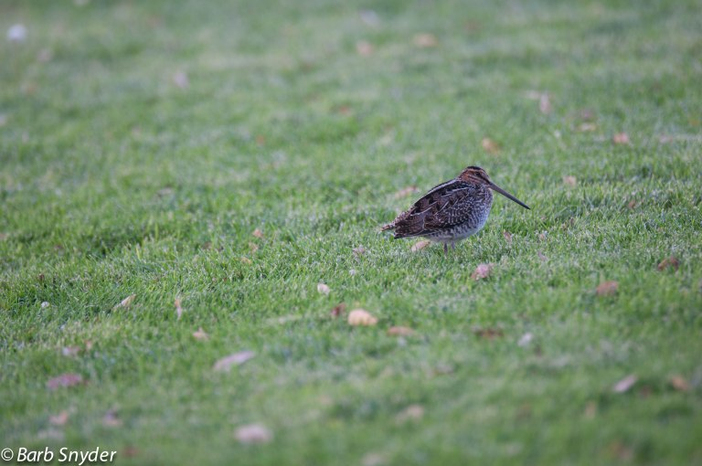 This lone Wilson's Snipe was sitting in the main circle one evening before dinner (the students weren't playing soccer that night).