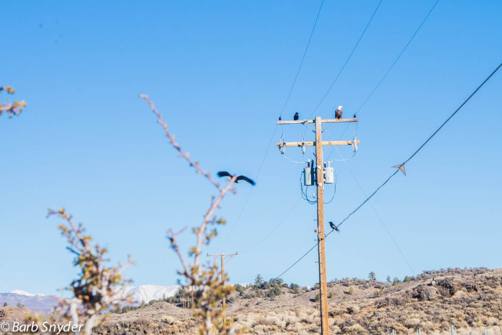 Ada (4 years old) spied this Bald Eagle as we were traveling away from a fish hatchery that was closed for the season.