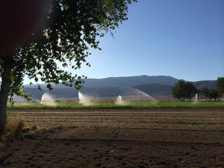 Hand lines irrigating the alfalfa.