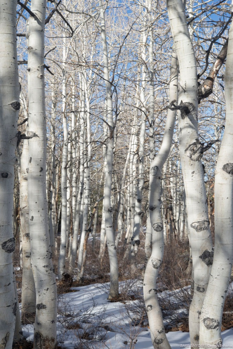 Beautiful aspens.