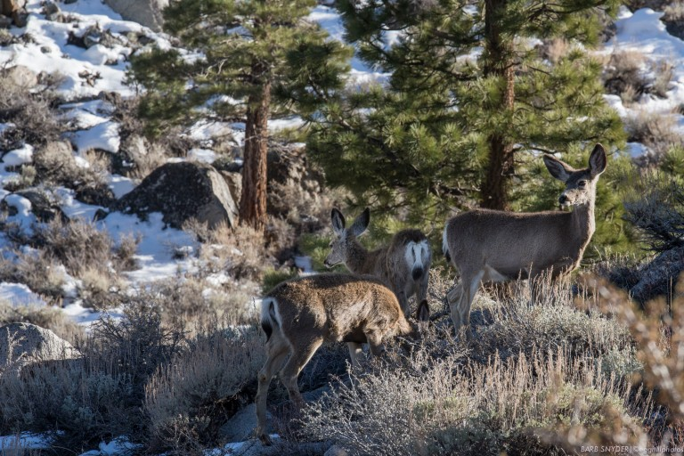 Rocky Mountain Mule Deer inhabit the Eastern Sierras.