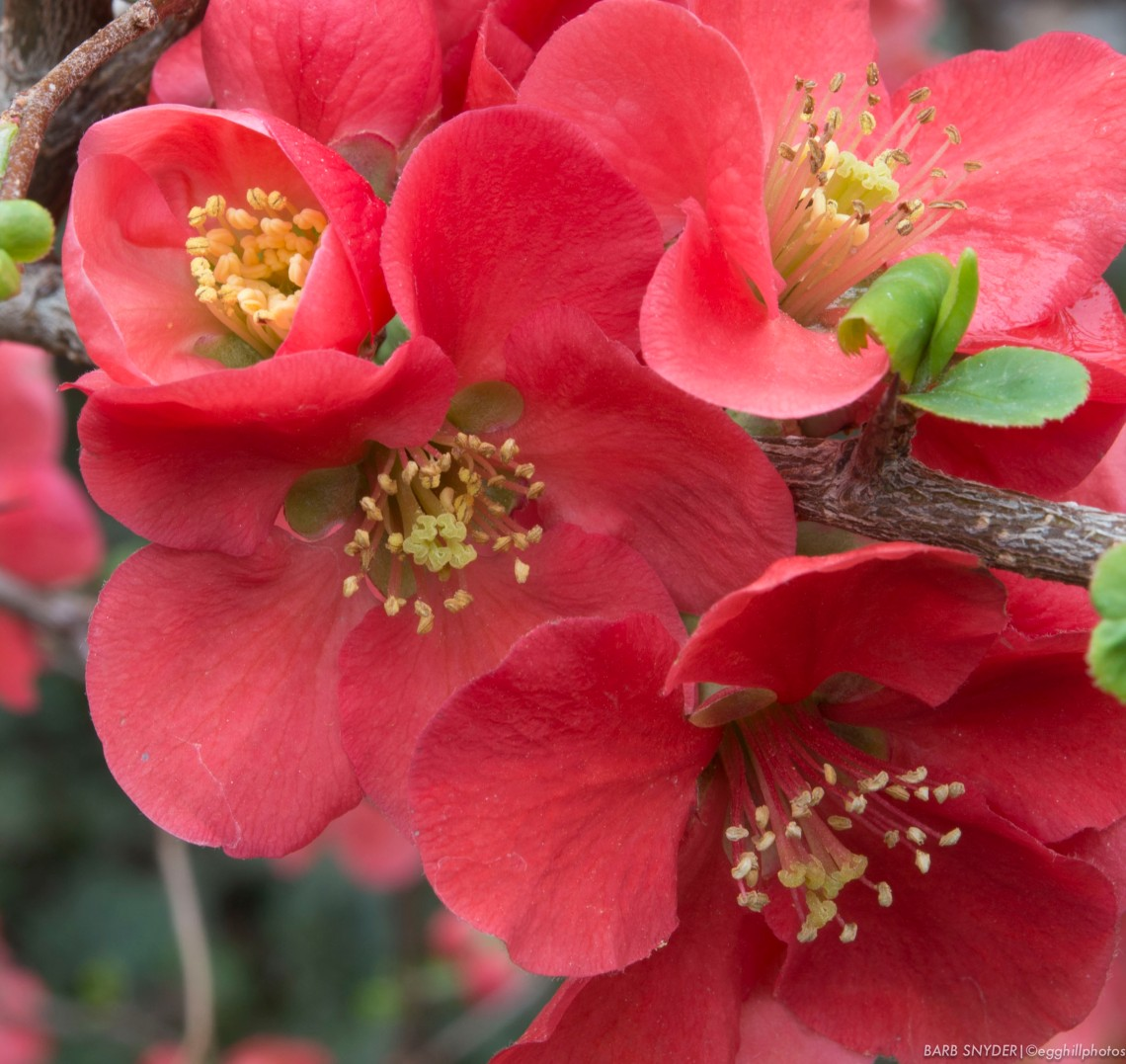 Quince blooms - the same day as the Death Valley snow pics.