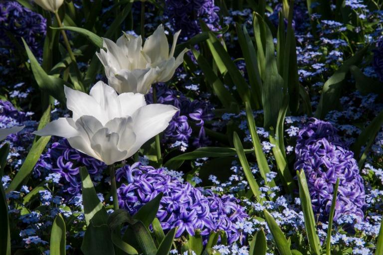 Tulip 1